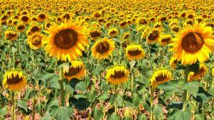 Absolute sunflowers — Brihuega, 2017