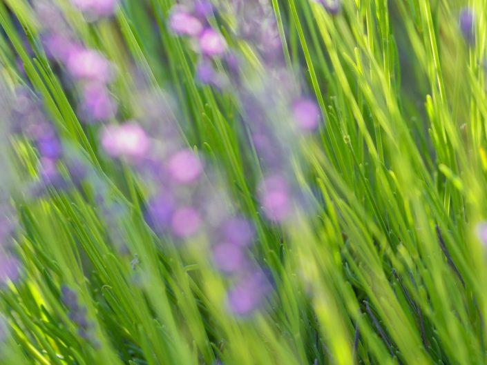 Wild lavender — Brihuega, 2018
